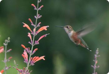 flower seeds for hummingbirds