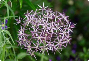 allium christophii diane 39 s flower seeds. Black Bedroom Furniture Sets. Home Design Ideas