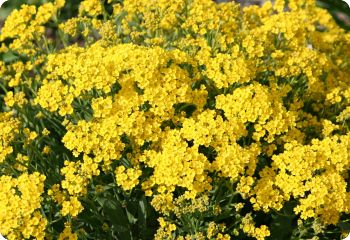Alyssum saxatile Basket of Gold