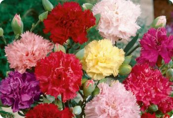 Carnation 'Giant Chabaud'