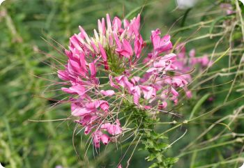 Cleome Rose Queen