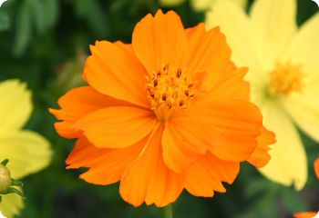 Cosmos 'Ladybird Orange'