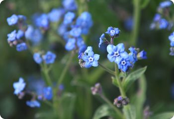 Cynoglossum amabile Chinese Forget-Me-Not