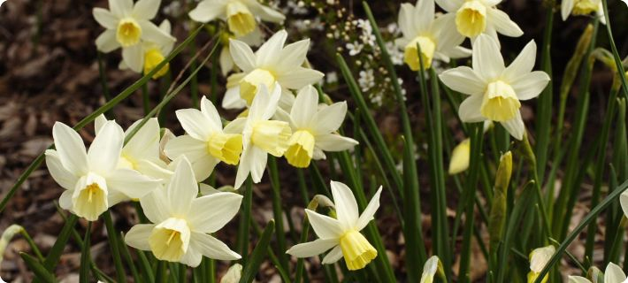 companion plants for daffodils