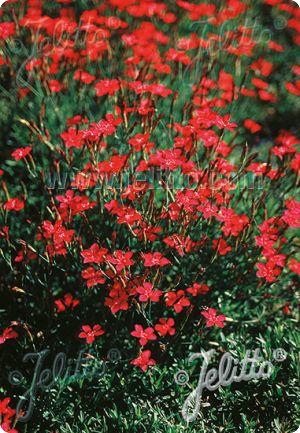 Dianthus Deltoides Brilliant Seeds Maiden Pink