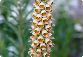 Digitalis ferruginea Gelber Herold