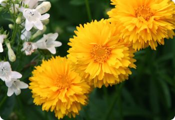 drought tolerant flower seeds