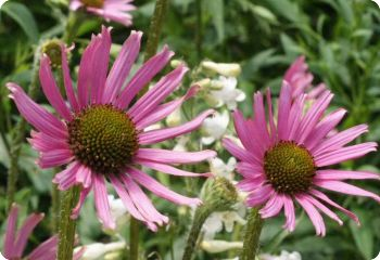 Echinacea tennesseensis 'Rocky Top Hybrids'