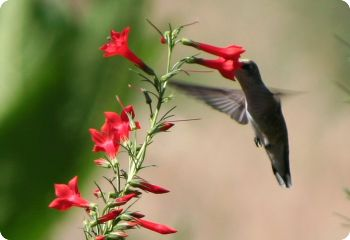 hummingbird flower seeds