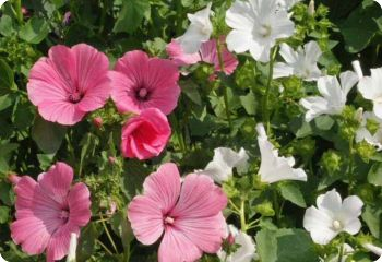 Lavatera trimestris mix