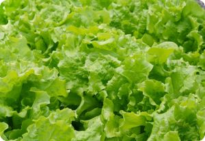 lettuce black-seeded simpson