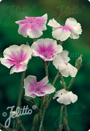 30 Angel/'s Blush Lychnis Coronaria Flower Seeds Perennial