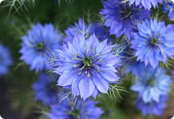 nigella damascena miss jekyll blue