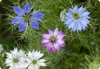 Nigella 'Miss Jekyll Mix'
