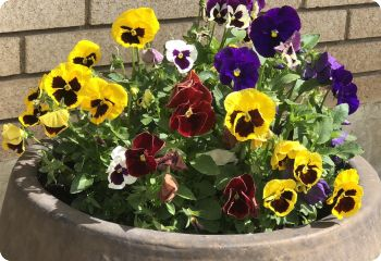 pansy swiss giants