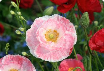 Papaver rhoeas Shirley Poppy