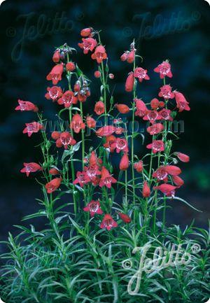 Penstemon coccineus Jingle Bells     500 seeds