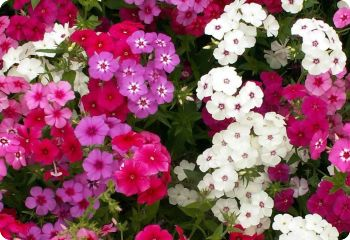 Phlox drummondii Mix