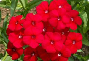 Phlox drummondii Red