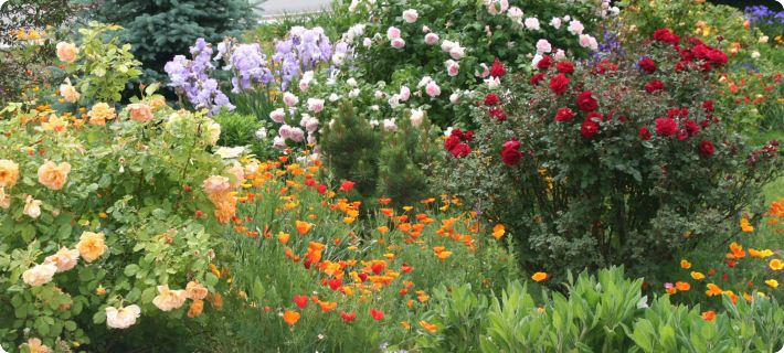 Companion Plants For Roses Diane S Flower Seeds