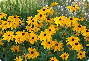 Rudbeckia hirta Indian Summer