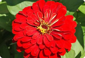 Zinnia Cherry Queen