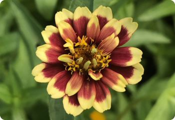 Zinnia 'Old Mexico'