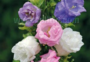 Campanula medium 'Double Mix'